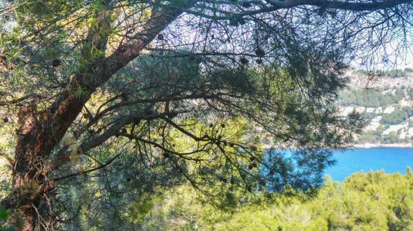 Pinien und das azurblaue Meer